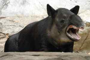 tapir zangado2